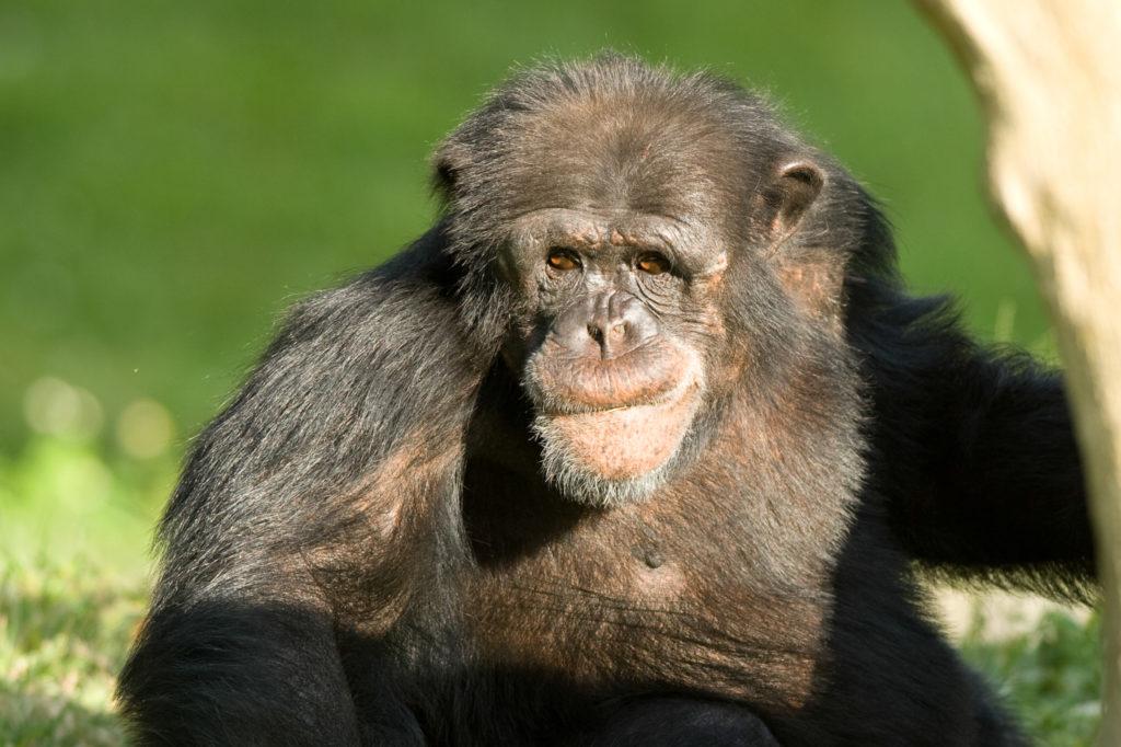 Human and Chimpanzee DNA 2