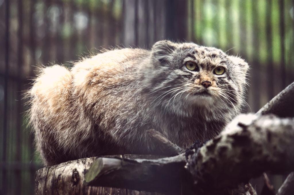 Cat Ancestors 25
