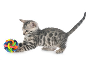 The Top 10 Most Affectionate Cat Breeds 6