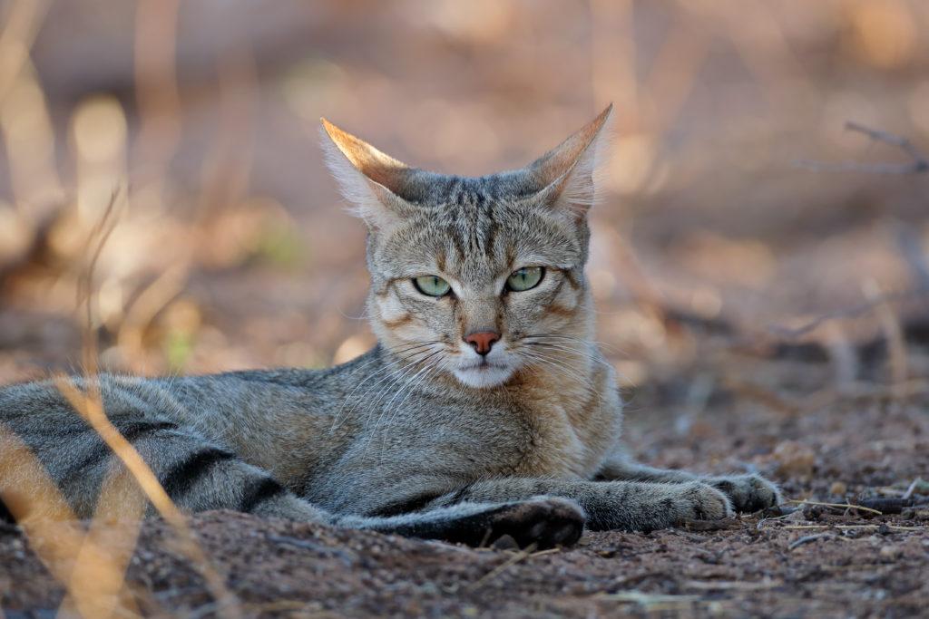 Cat Ancestors 16