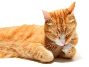 The Top 10 Most Affectionate Cat Breeds 4