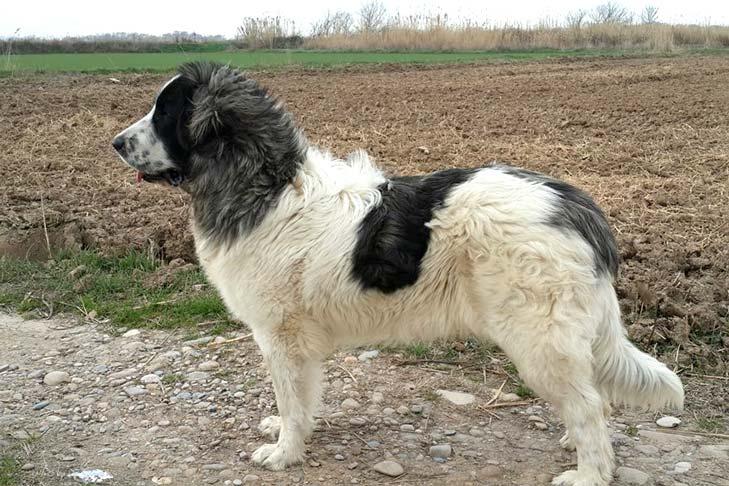 Pyrenean Mastiff 3